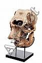 Crâne d'éléphant. Sur socle. XIXe siècle. H_94 cm