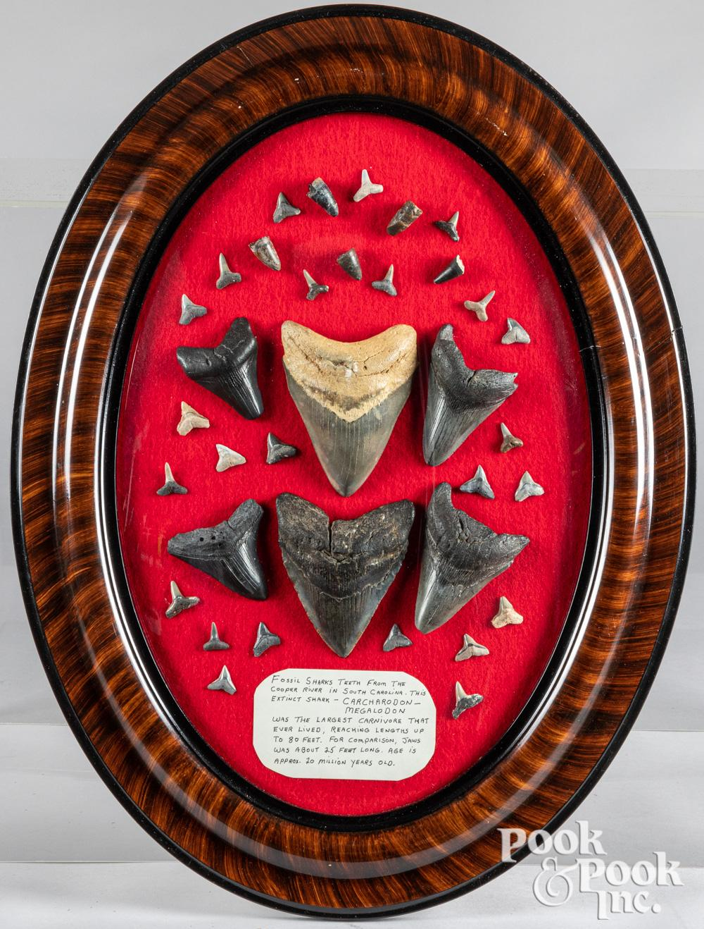 Collection of fossil shark's teeth, framed