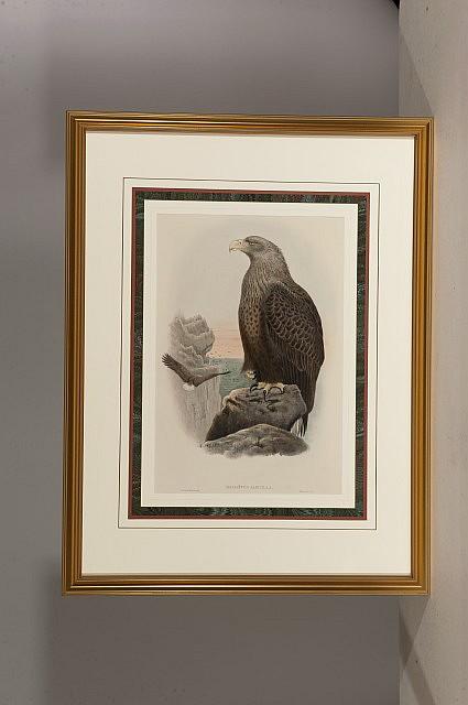 John Gould, Eagle, Print, Od: 34 1/2 H x 26 1/2 W Id: 20 H x 13 1/2 W