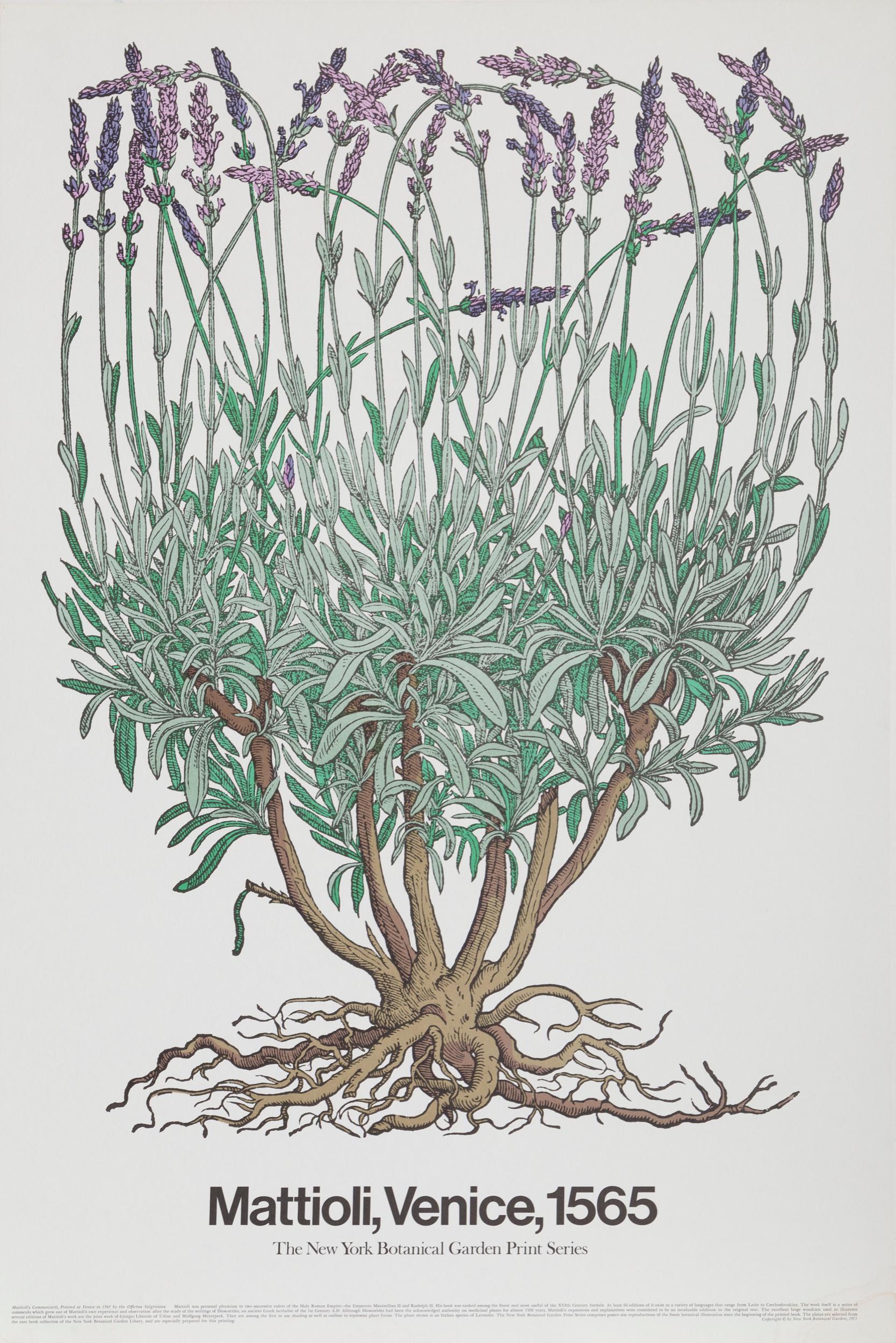 Piero Andrea Mattioli, Mattioli's Commentarii - New York Botanial Print, Poster on board
