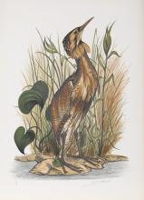 Jerome Trollier, Spangled Bittern, Lithograph