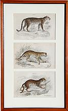 William Home Lizars, Felis Leopardus, Felis Javanensis, Felis Bengalensis, Engraving Triptych