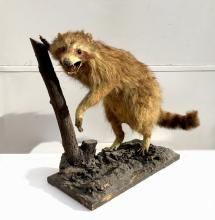 Raccoon, Taxidermy on Wood Base and Tree Limb