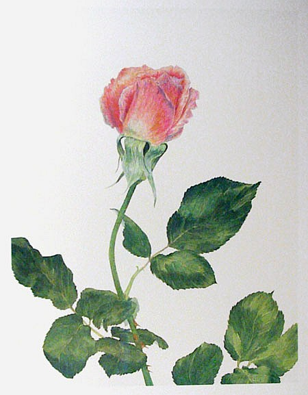 Carol Ann Bolt, Pink Rose, Lithograph