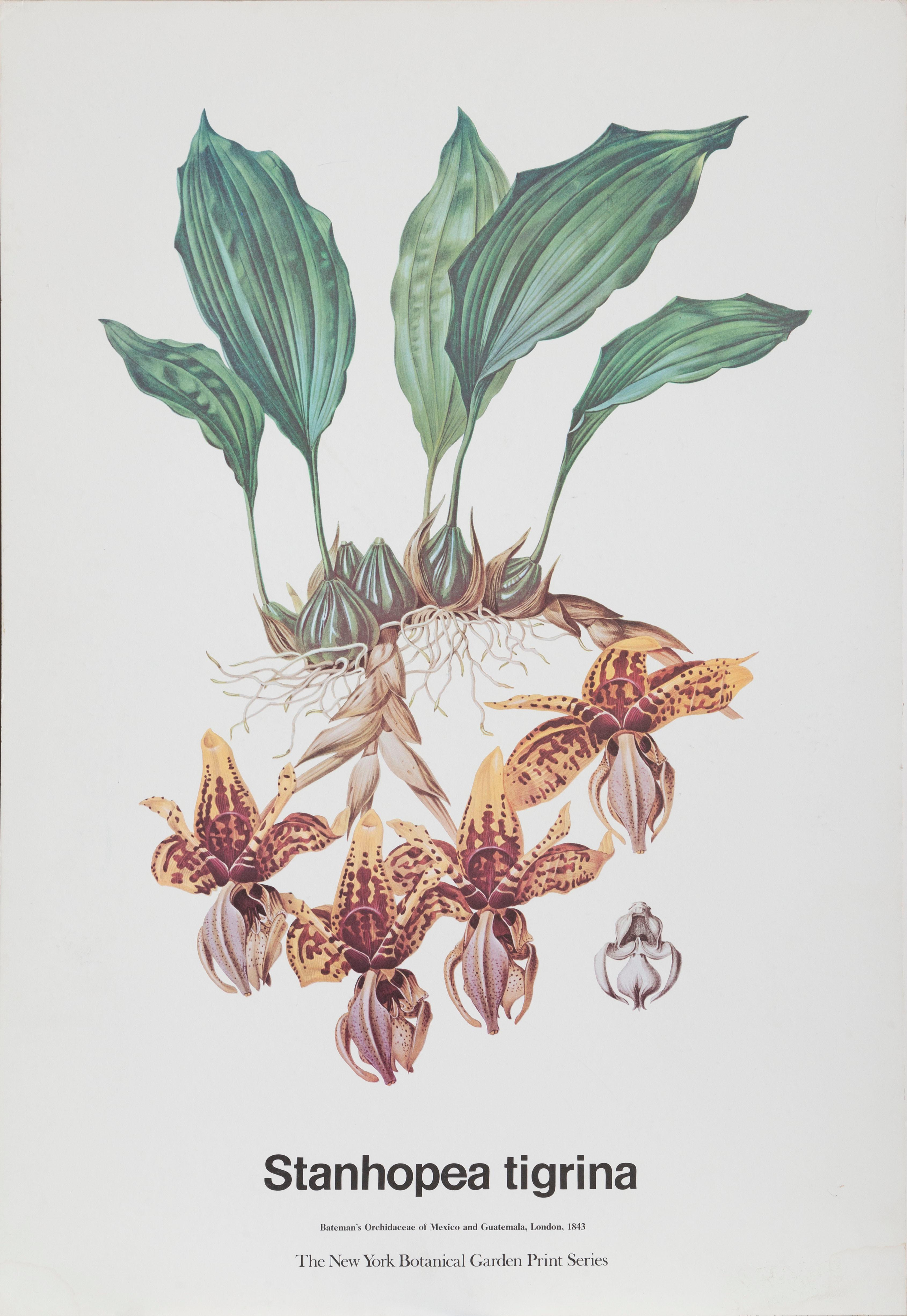 James Bateman, Stanhopea Tigrina Orchidae, Poster on board