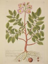 Georg W. Knorr botanical