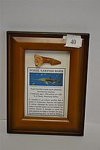 A FOSSIL SAWFISH BARB, FRAMED.