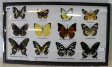 A FRAMED BUTTERFLY DISPLAY.