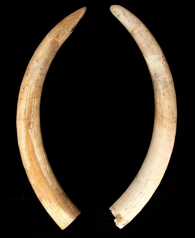 PAIR OF LARGE ELEPHANT TUSKS