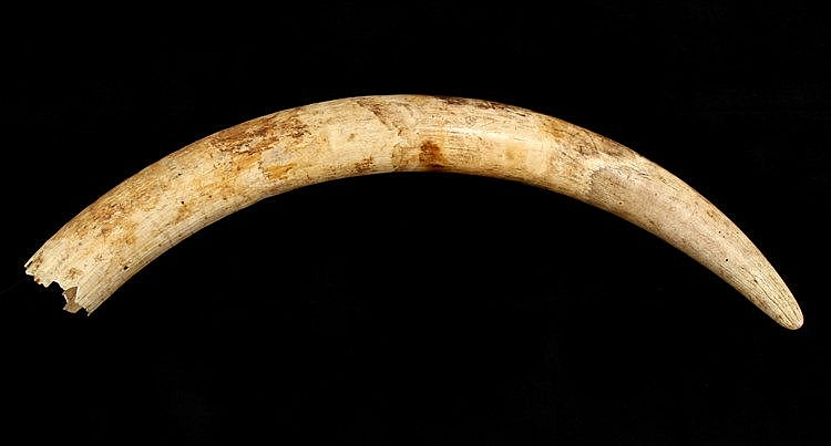 LARGE ELEPHANT TUSK