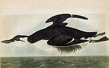 Audubon Brunnich Murre The Birds of America c1946