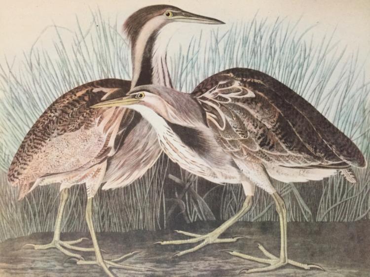 c1946 Audubon Print, #337 American Bittern
