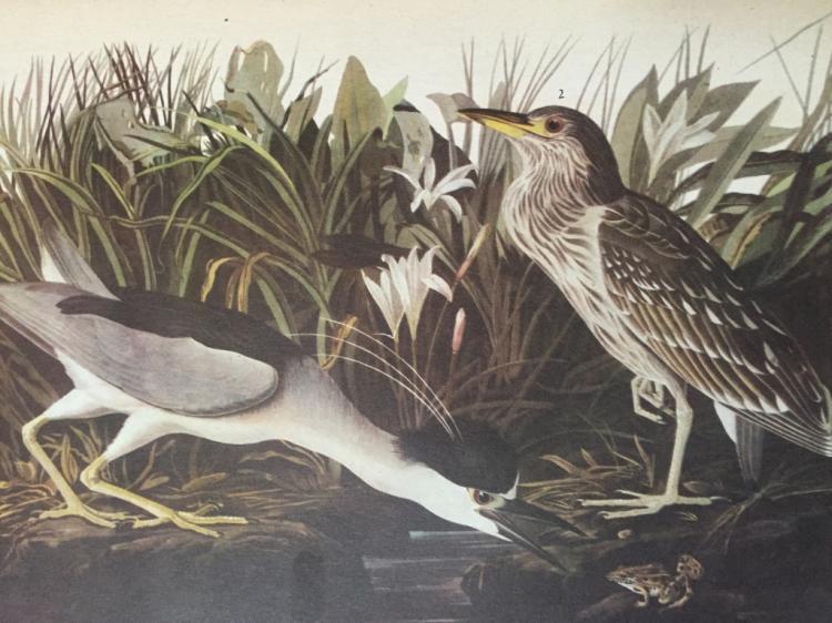 Audubon Print, # 236 Black-Crowned Night Heron
