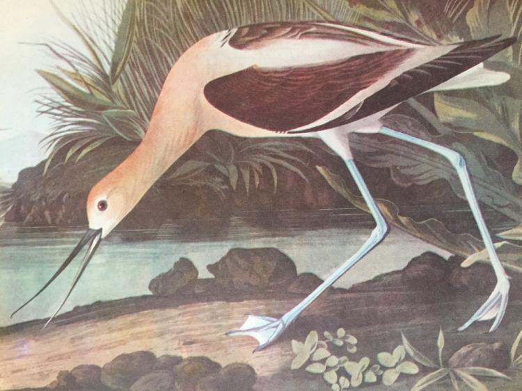 c1946 Audubon Print, # 318 Avocet