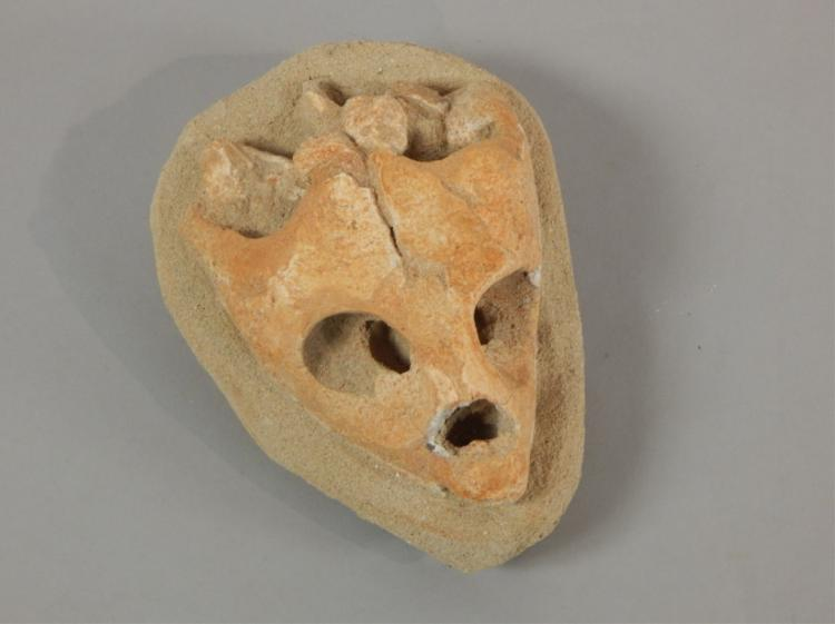 Partially Excavated Fossil, Tortoise Head