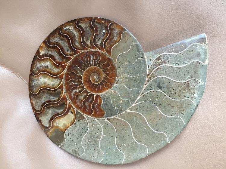 Large Prehistoric Fossilized Ammonite Slice