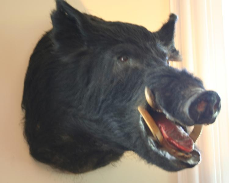 Rare Russian Black Boar Head Mount