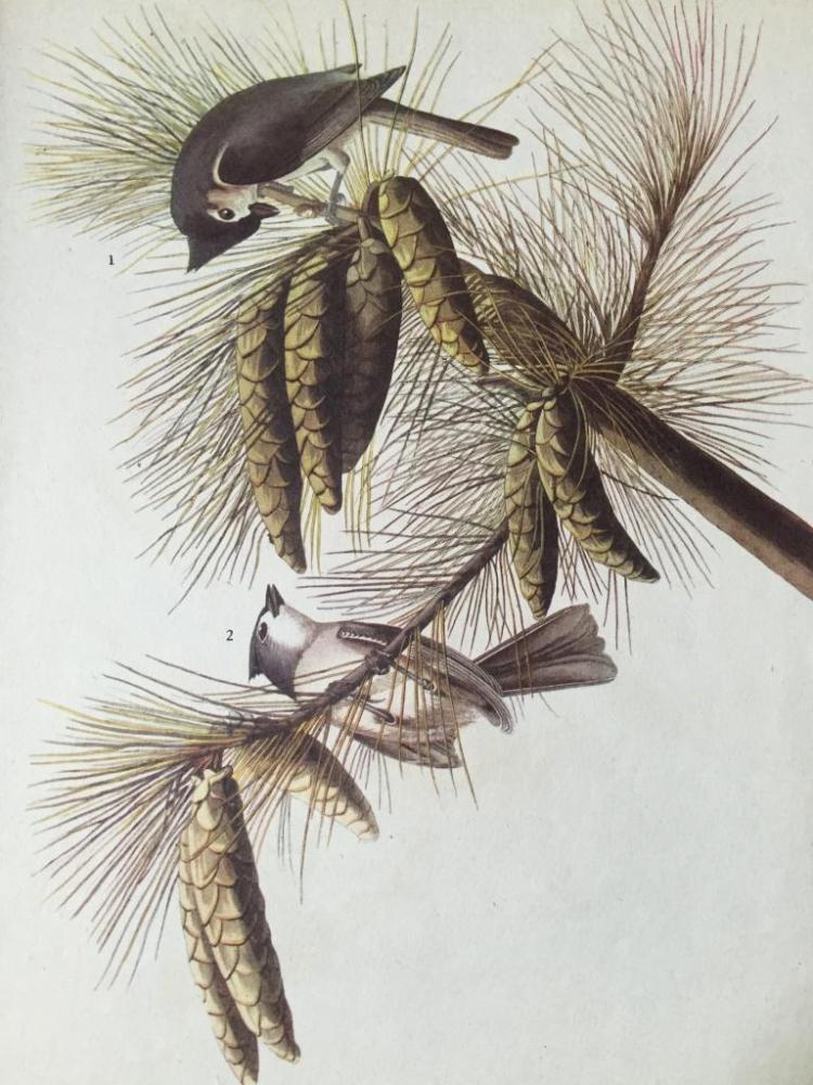 c1946 Audubon Print, #39 Tufted Titmouse