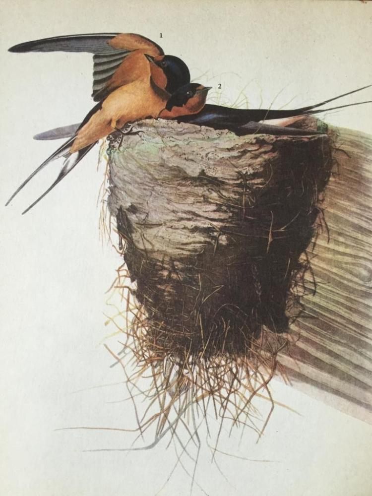 c1946 Audubon Print, #173 Barn Swallow