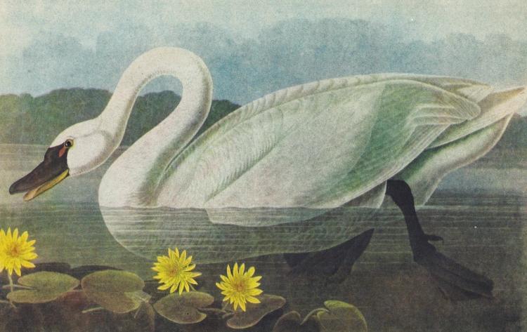 c1946 Audubon Print, Whistling Swan #411