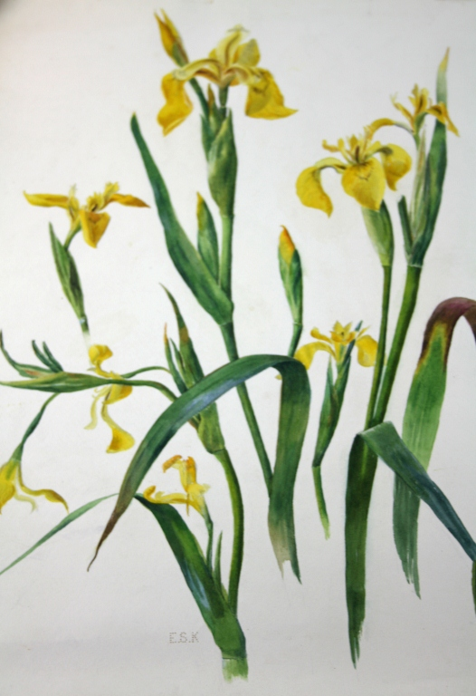 c1900 Original Signed Watercolor, Yellow Iris