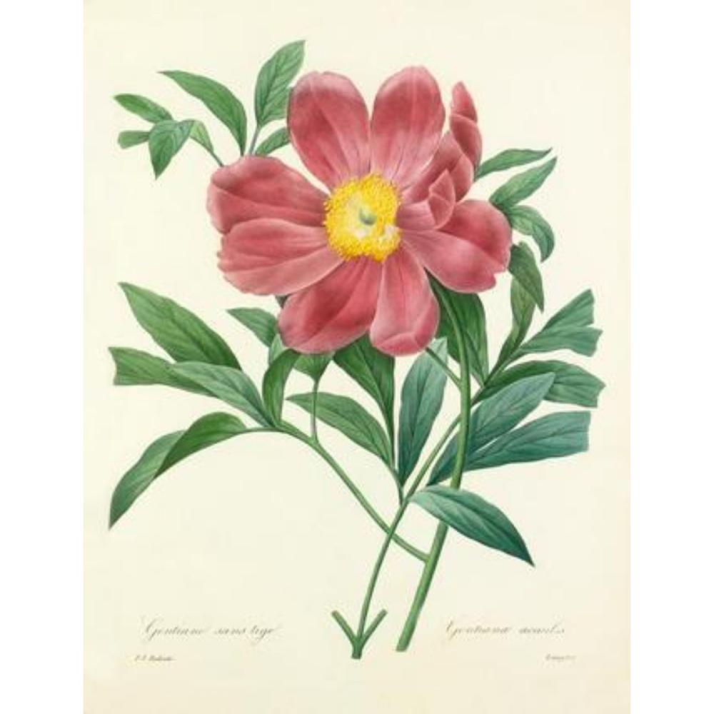 After Pierre-Jospeh Redoute, Floral Print, #105 Peony