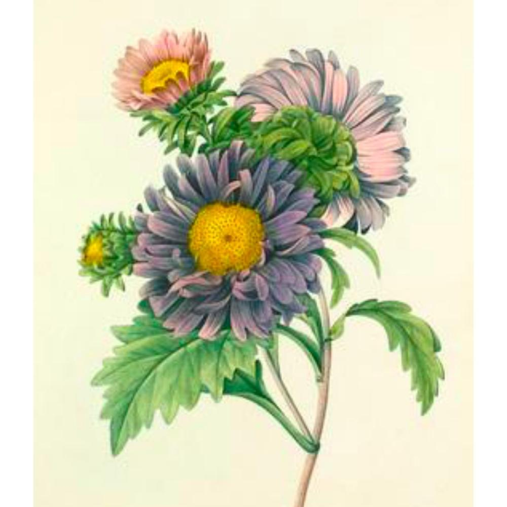 After Pierre-Jospeh Redoute, Floral Print, #9 Aster de Chine ( Aster )