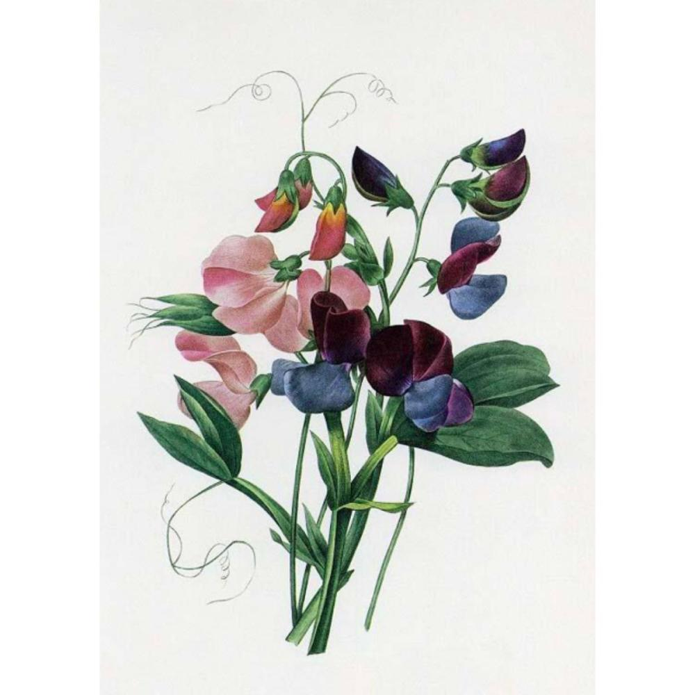 After Pierre-Jospeh Redoute, Floral Print, #70 Lois de senteur ( Sweetpea )