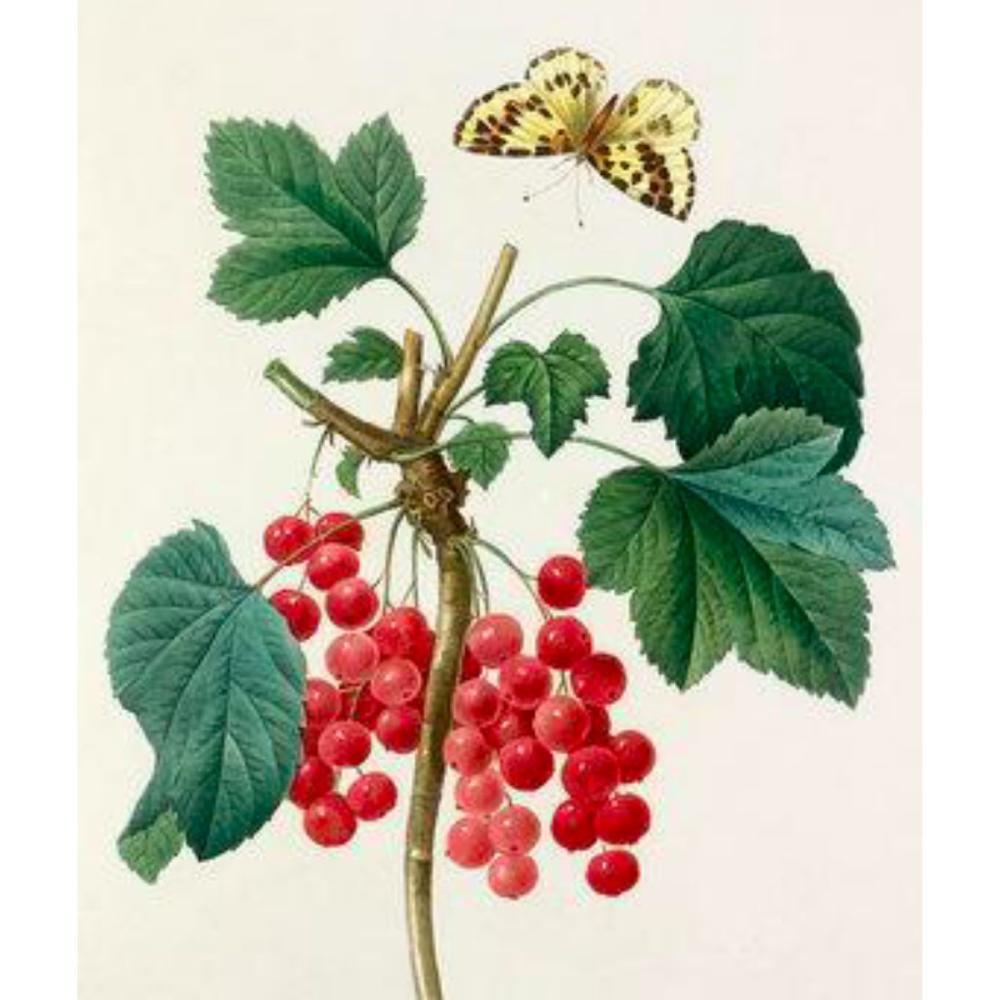 After Pierre-Jospeh Redoute, Floral Print, #51 Grosseiller Rouge ( Ribes rubrum )