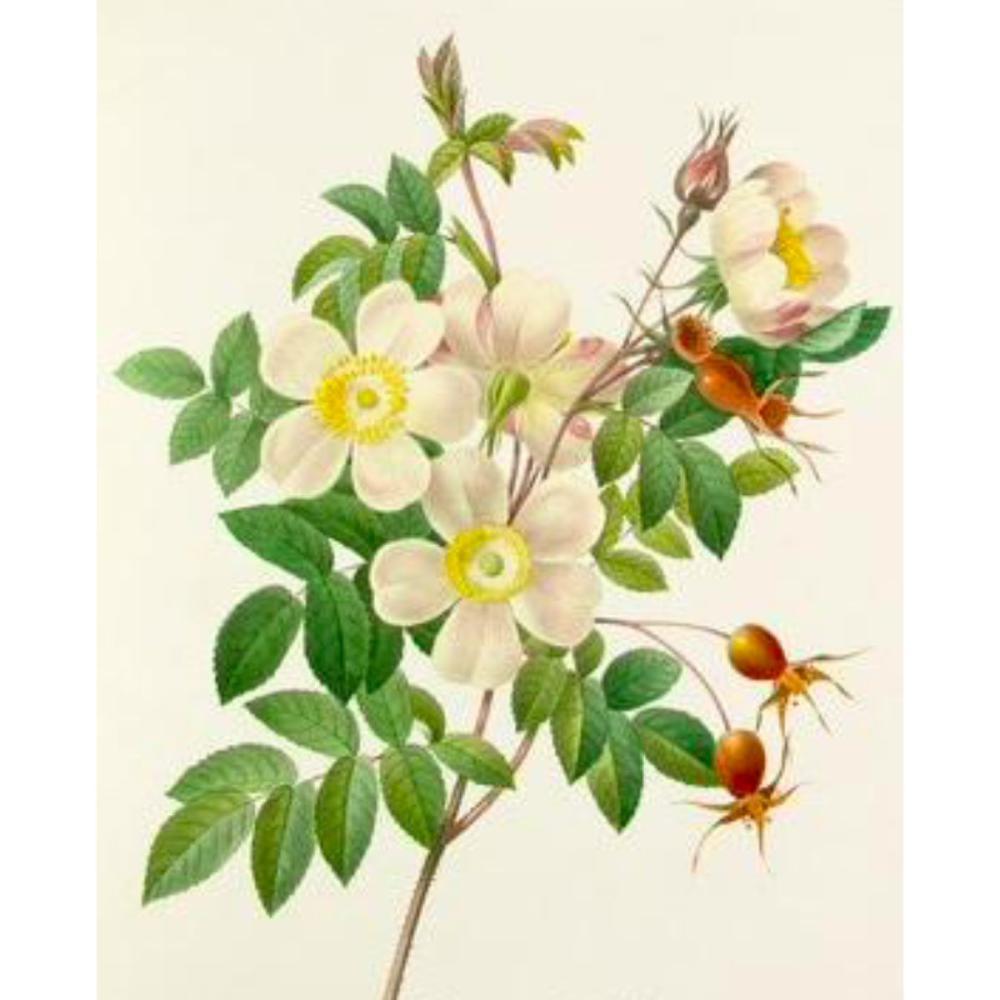 After Pierre-Jospeh Redoute, Floral Print, #130 Rosier de Candolle Variete (Rose)