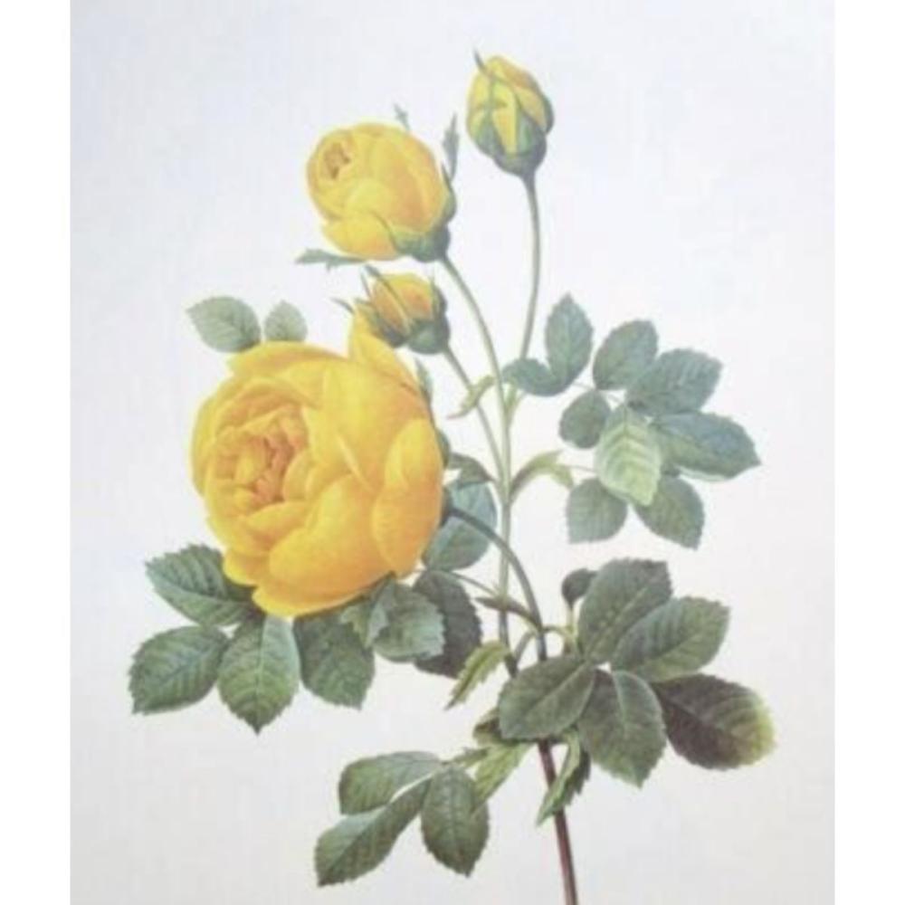 After Pierre-Jospeh Redoute, Floral Print, #128 Rose jaune de soufre