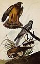 MARSH HAWK John James Audubon Print