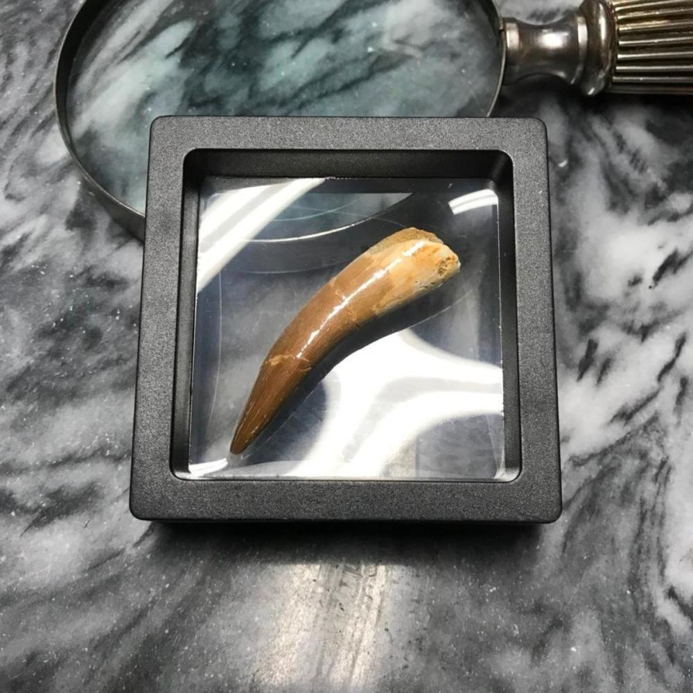 Rare Prehistoric Zarafasaura Dinosaur Tooth