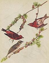 Audubon Purple Finch The Birds of America c.1946.