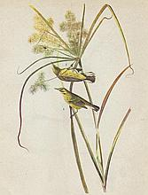 Audubon Prairie Warbler The Birds of America c1946