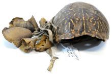 1870 Plains Indian Medicine Man Turtle Rattle
