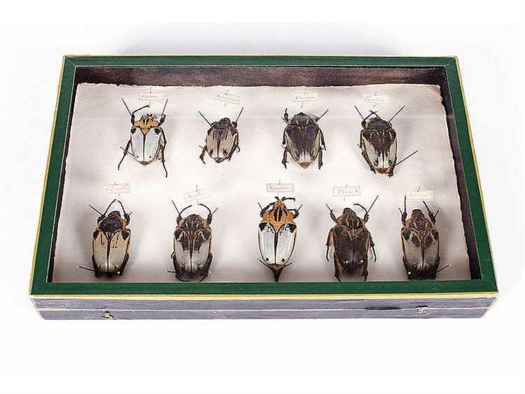 A COLLECTION OF BEETLES, IVORY COAST, LATE 19TH CENTURY