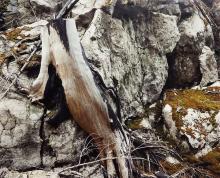 LORRAINE GILBERT - Cut Stump on Rock, Bella Coola, B.C.