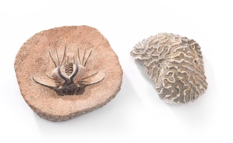 TWO MARINE FOSSILS.