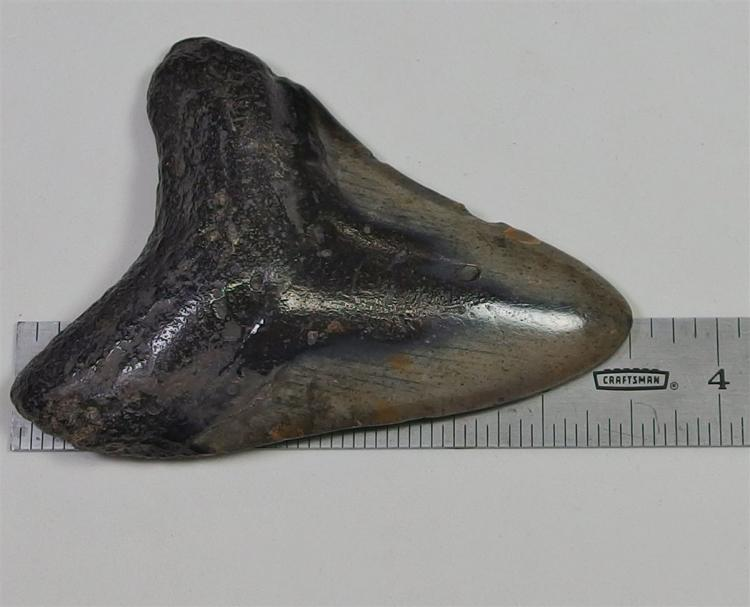 Large Fossil of a MEGLODON Sharks Tooth