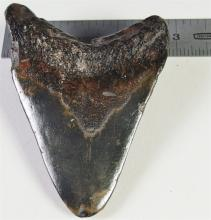 Lot 164: Large Fossil of a MEGALODON Sharks Tooth