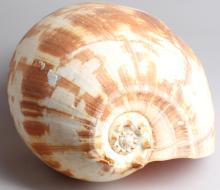 Giant Crowned Baler Melon Seashell