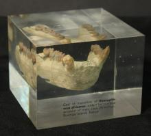 Cast of Ancient Fossil Jaw Paperweight