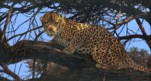 """KIM DONALDSON (Zimbabwean b. 1952) A DRAWING, """"Leopard at Twilight,"""""""