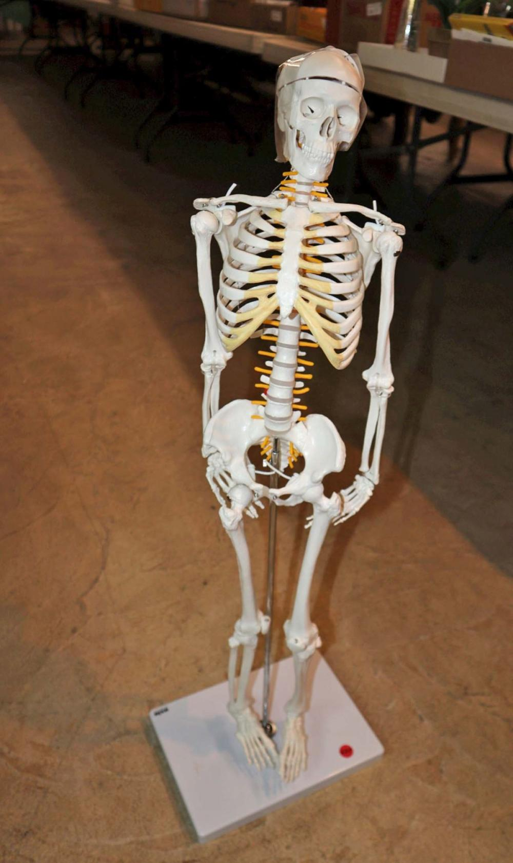 Skeleton on scientific stand axis