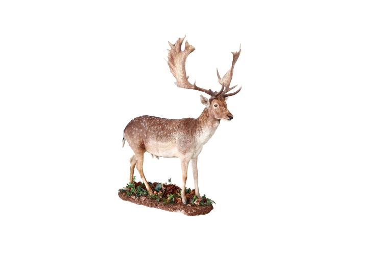 Fallow deer buck full mount