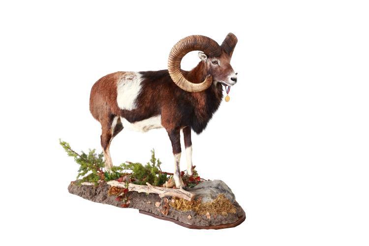Mouflon ram full mount
