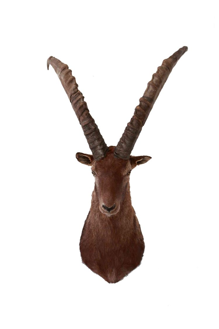 Alpine ibex cape mount