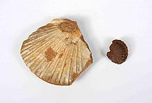 A PAIR OF FOSSILS