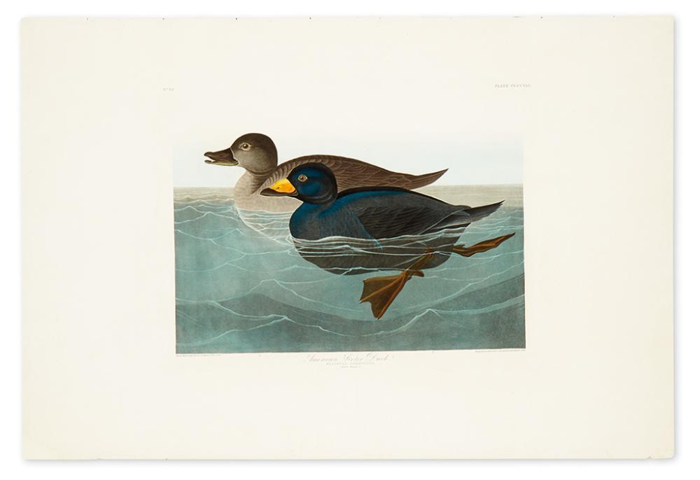 AUDUBON, JOHN JAMES. American Scoter Duck. Plate CCCCVIII.